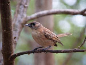 Monarque marquisien (Pomarea mendozae motanensis) . Komako atua. MANU