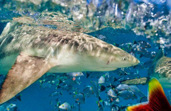 Requin, Photo Sylvain Giradot